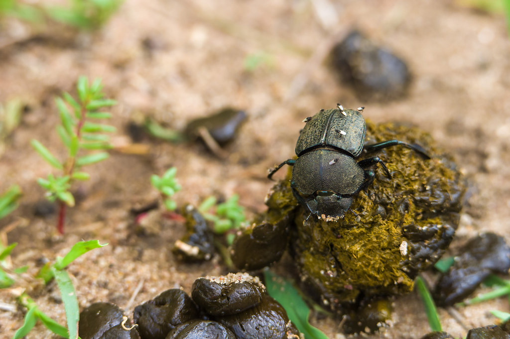 Dung beetle in Selous