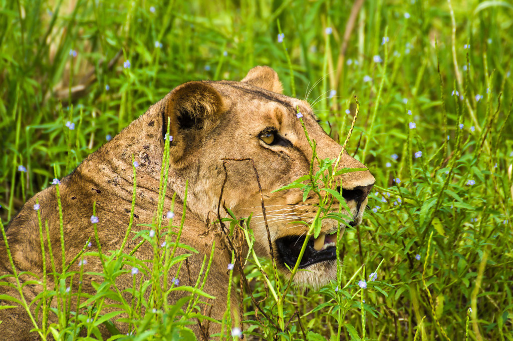 Lioness in Selous