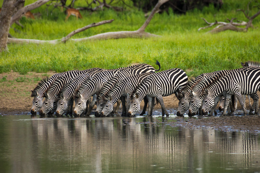 Zebras in Selous