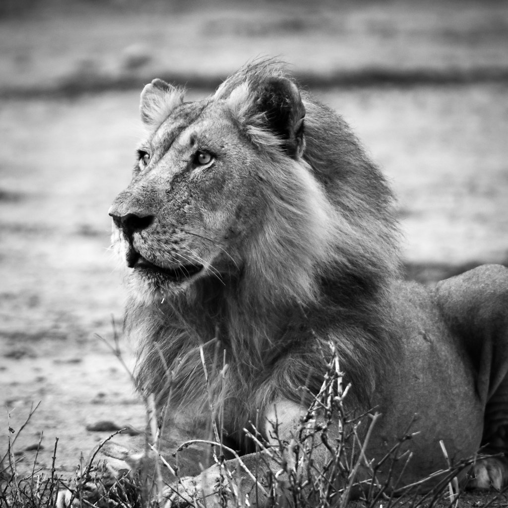 Male lion in Ruaha