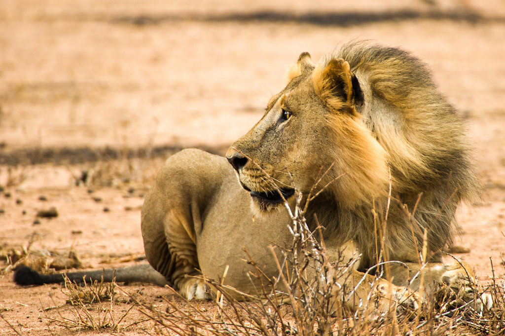 Lion, Ruaha