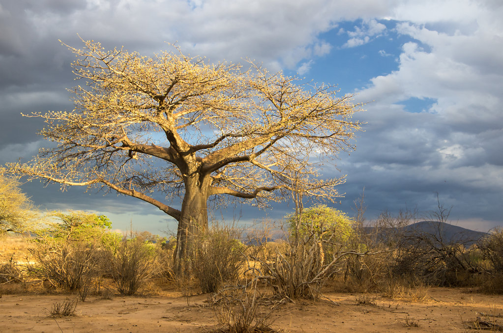 Baobab tree at Ruaha river lodge
