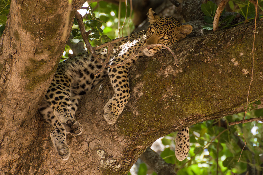 Leopard, Ruaha