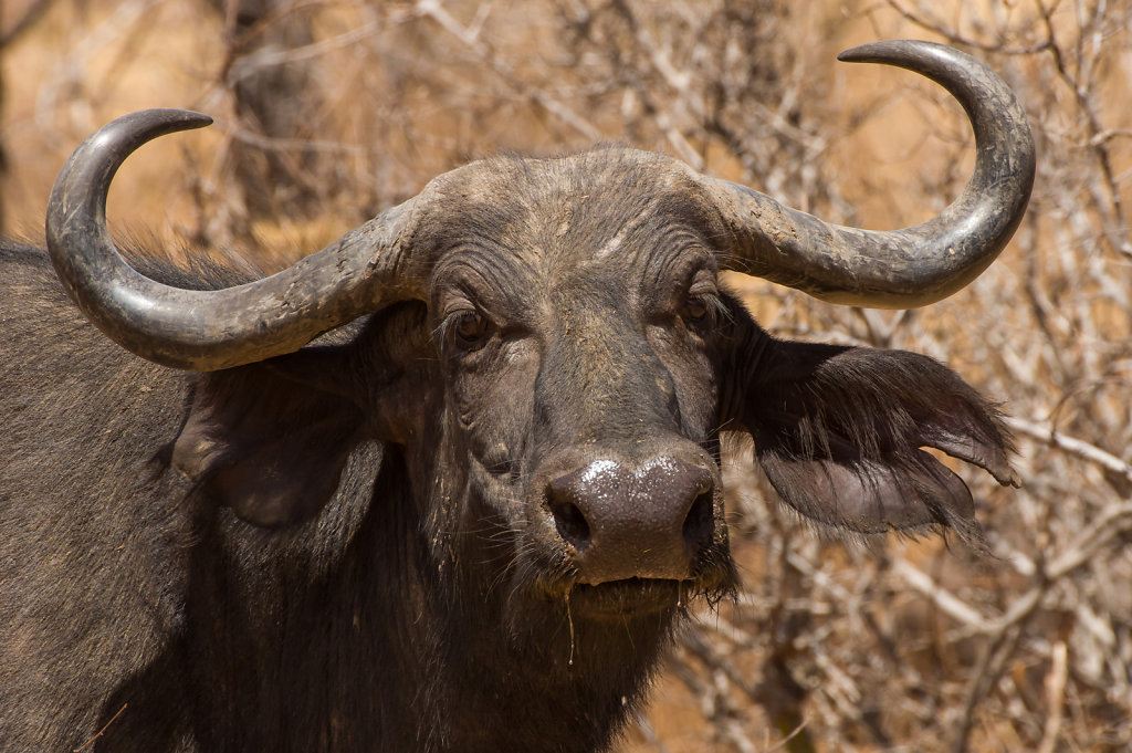 Water buffalo, Ruaha